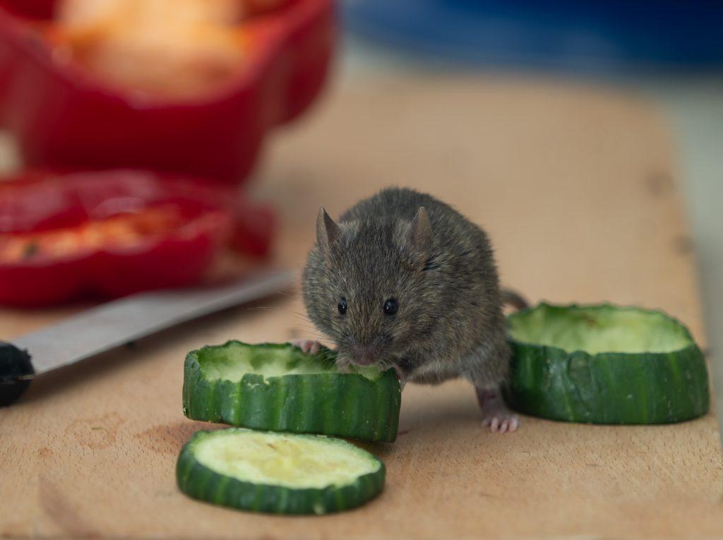 Maus isst Gurke