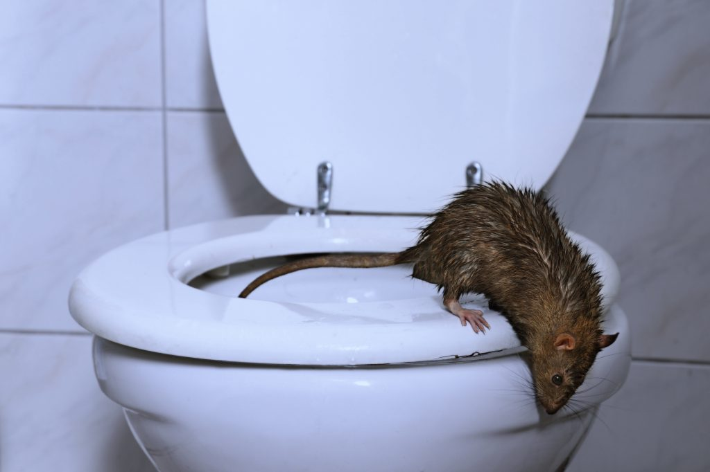 Ratte in Toilette
