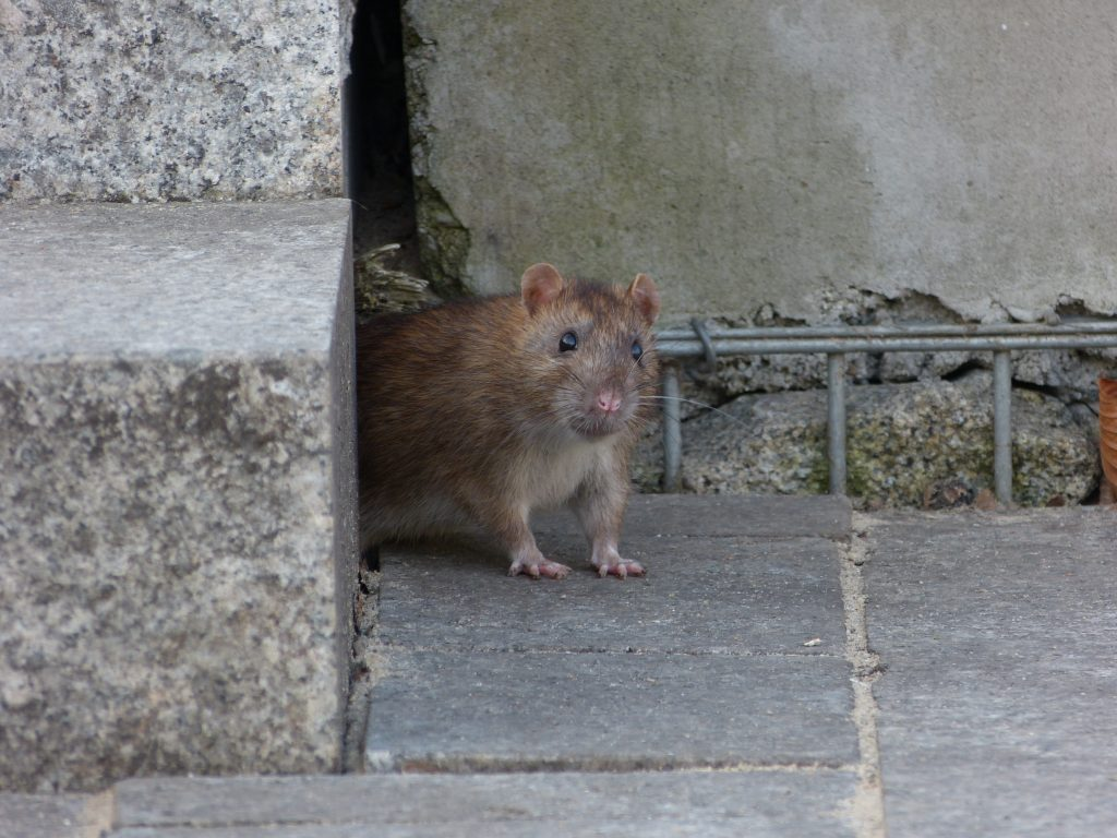 Ratte an Hauswand