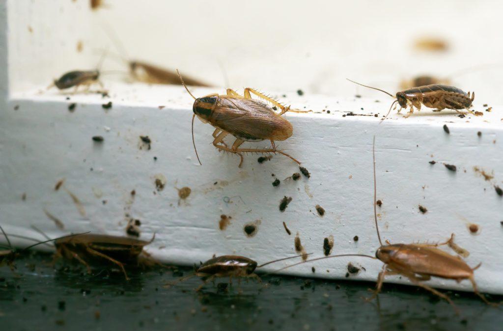Ansammlung Schaben Kakerlaken